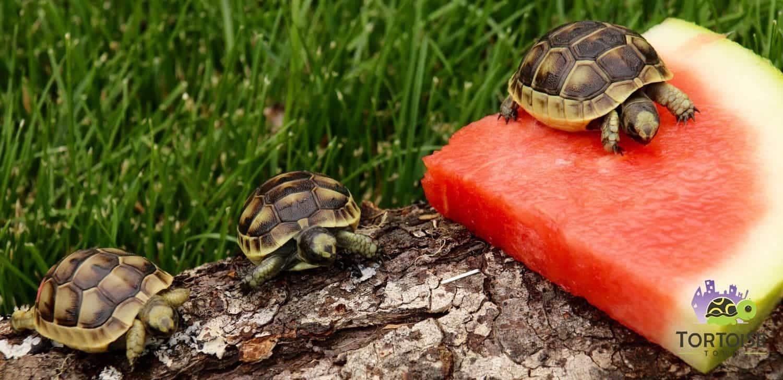 Ibera Greek Tortoise For Sale Online Greek Tortoises For