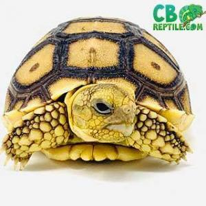 Sulcata tortoise breeders