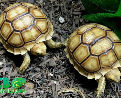 Sulcata for sale