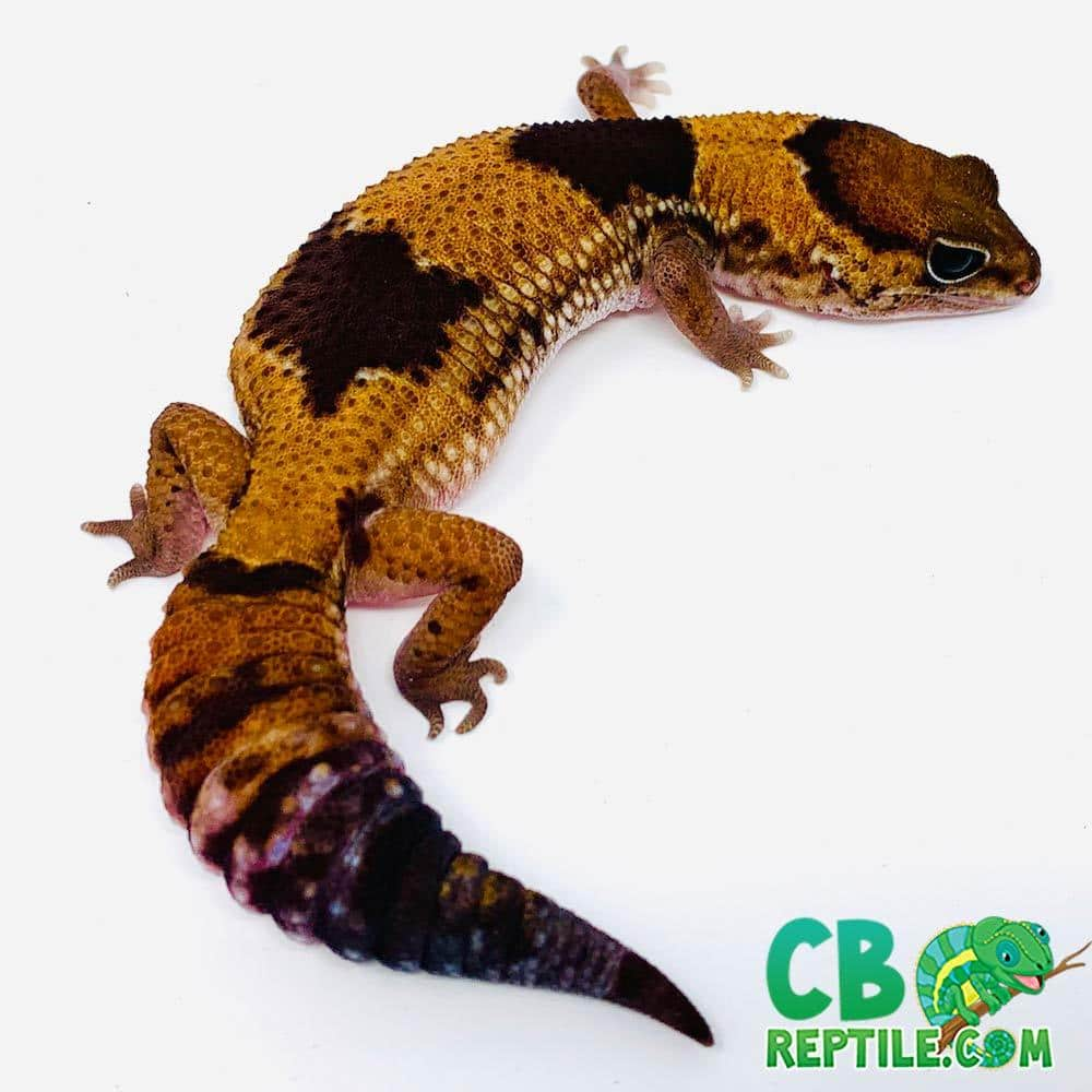 captive bred wild type fat tailed gecko