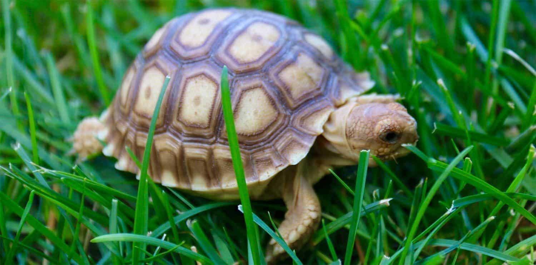 Sulcata Tortoise For Sale Online Buy Baby Sulcata