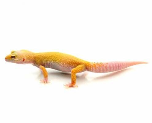 albino leucisitic leopard gecko