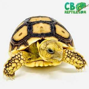 baby African Sulcata tortoise