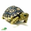 bay Giant leopard tortoise
