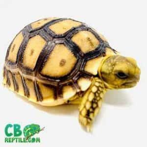 baby Sulcata tortoise