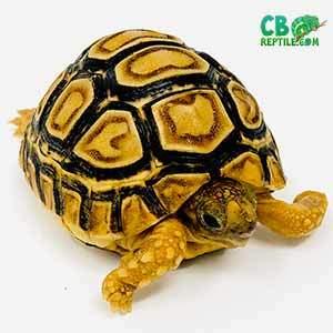 baby leopard tortoise