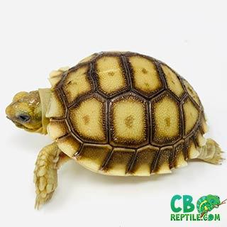 baby Sulcata for sale