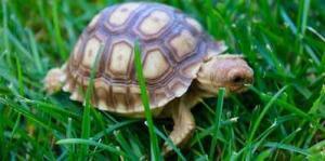 baby sulcata tortoises