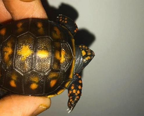 baby red foot tortoise