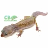 blizzard leopard gecko for sale