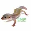 blizzard leopard geckos for sale
