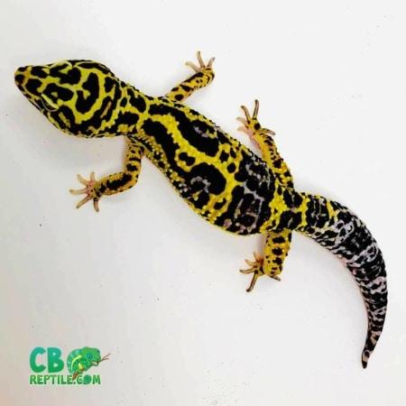 bold leopard gecko