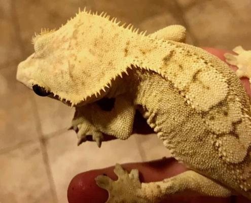 Creamsicle crested gecko for sale