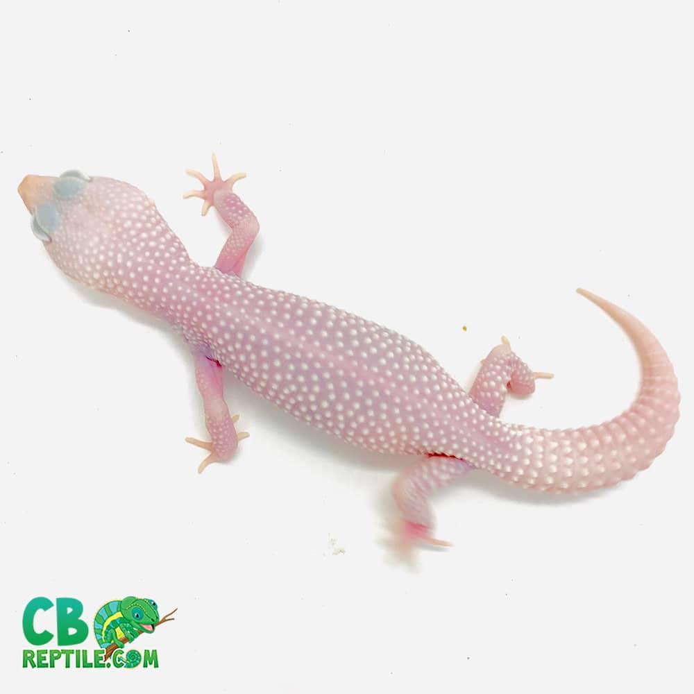 Diablo blanclo leopard gecko