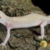 diablo blanco leopard gecko for sale