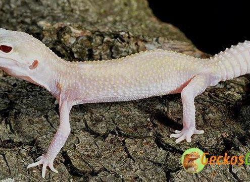 diablo blanco leopard gecko for sale