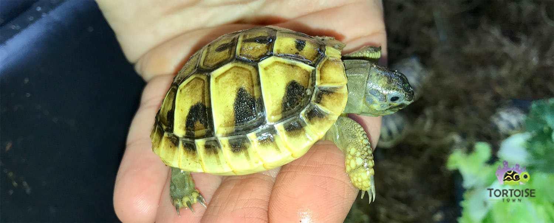 Eastern Hermann's tortoise for sale