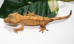 fire crested gecko