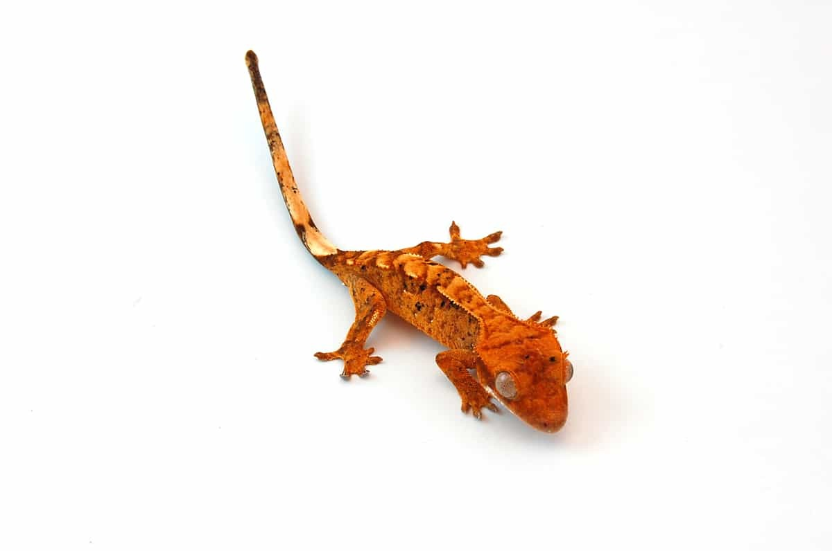 Flame Crested Gecko For Sale Online Baby Flame Crested