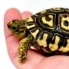 giant leopard tortoise for sale
