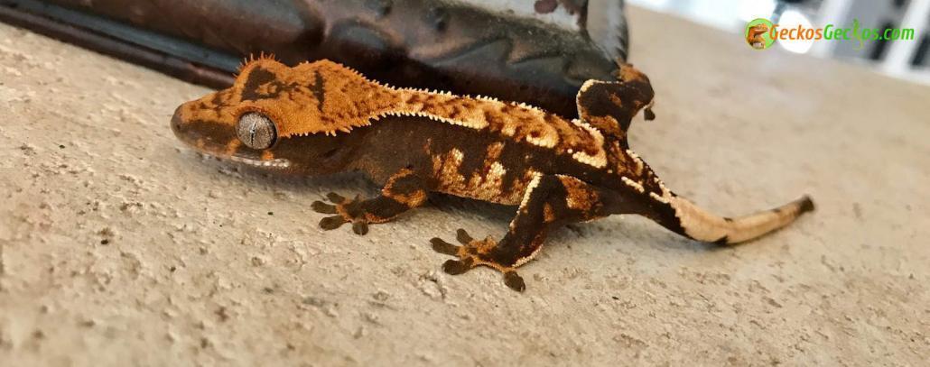 halloween crested gecko