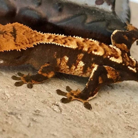 Halloween Crested gecko for sale