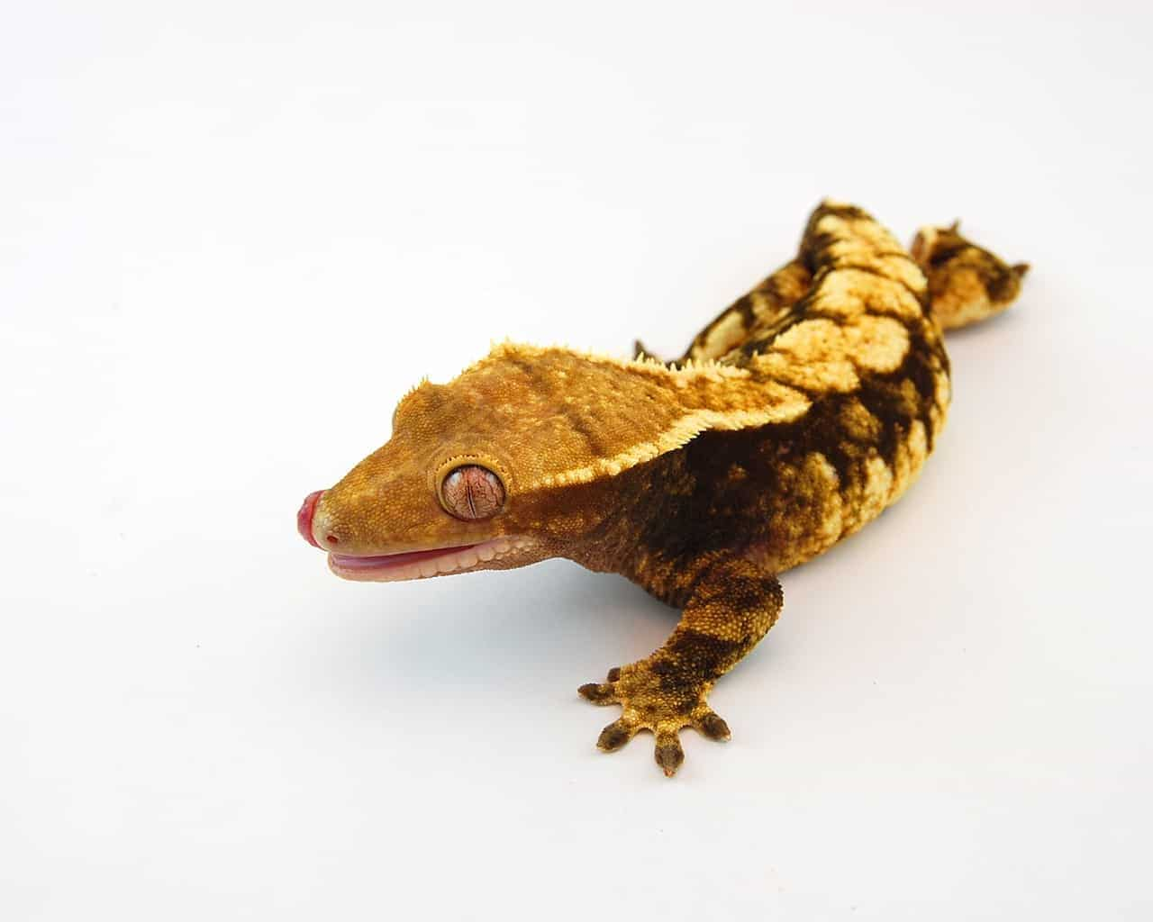 Harlequin Crested gecko for sale