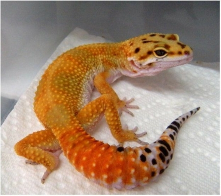 High Color Leopard gecko for sale
