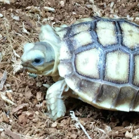 Ivory Sulcata Tortoise for sale