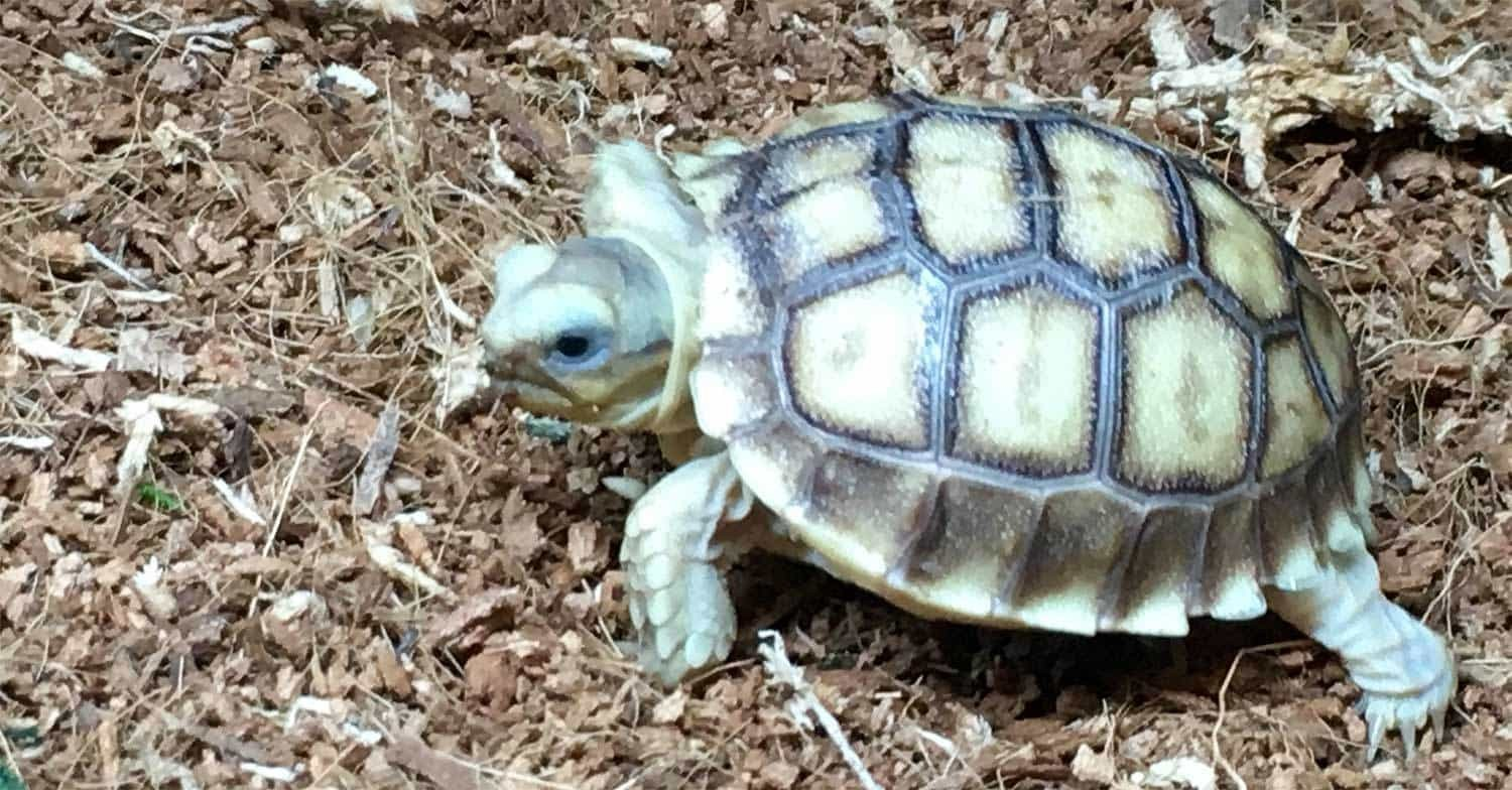 83e3a560a6f HET Ivory Sulcata tortoise for sale