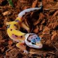 jungle designer leopard gecko
