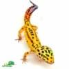 jungle designer leopard gecko for sale