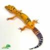 jungle designer leopard geckos for sale