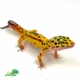 jungle leopard gecko for sale