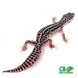 mack snow geckos for sale