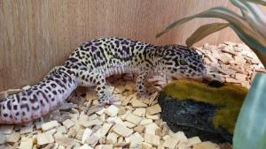 mack snow leopard gecko price