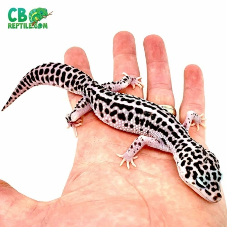 mack super snow leopard gecko