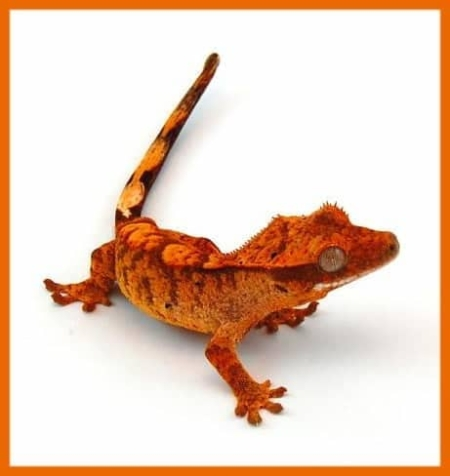 orange tiger flame crested gecko
