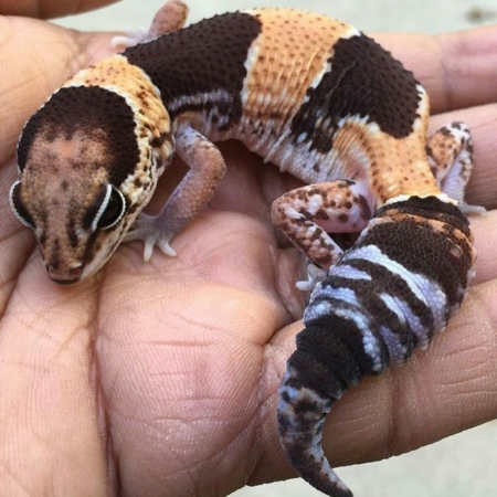 african fat tailed geckos