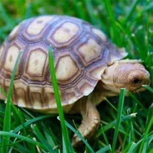 pet sulcata tortoise