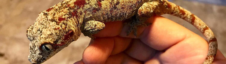 red blotch gargoyle gecko
