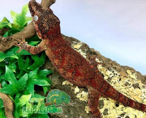 red blotch red base gargoyle gecko