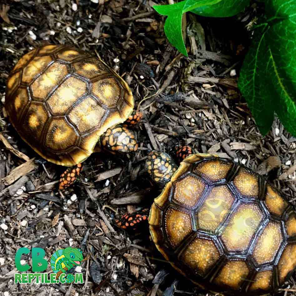 red footed tortoises for sale