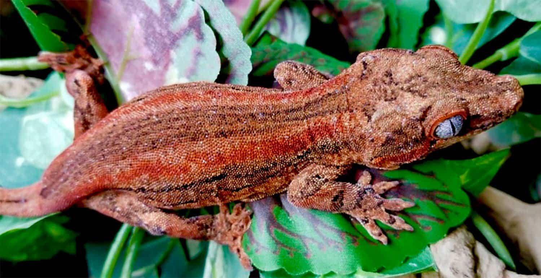 Red Gargoyle Gecko For Sale Online Baby Red Gargoyle