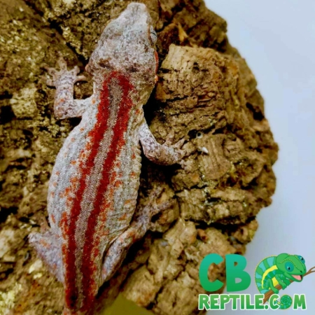 red striped gargoyle gecko