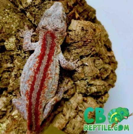 red striped gargoyle gecko