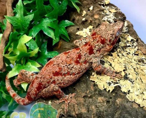 red super blotch gargoyle gecko