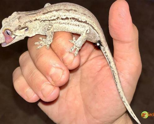 striped gargoyle gecko for sale