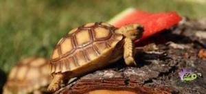 sulcata tortoise babies for sale