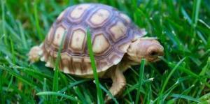 sulcata tortoise for sale near me